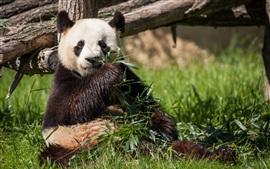 panda comen bambú