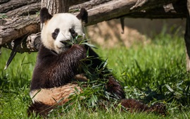 panda come bambu