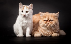 Persian cat and white kitten