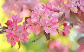 Pink cherry flowers, bokeh, twigs, spring