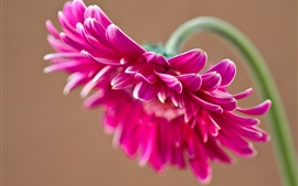 Preview wallpaper Pink gerbera flower, petals