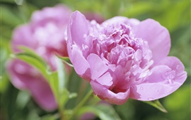 Preview wallpaper Pink peony flower close-up, dew