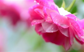 Preview wallpaper Pink rose close-up, water droplets