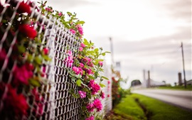 Pink rose flowers, fence, blurry background