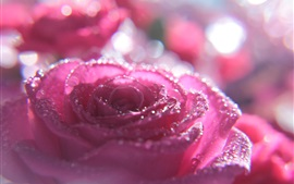 Preview wallpaper Pink rose macro photography, water droplets, glare