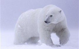 Preview wallpaper Polar bear, snow, cold