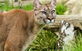 Preview wallpaper Puma, mountain lion, face, grass