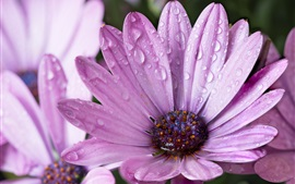 Preview wallpaper Purple flowers after the rain, water droplets
