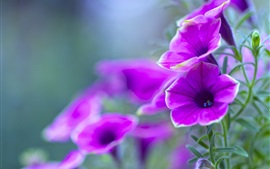 Preview wallpaper Purple petunia, flowers close-up