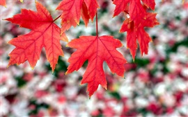 Red maple leaves, autumn, bokeh