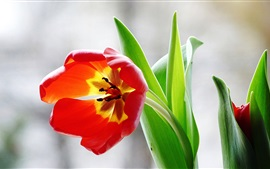Red tulip flower, green leaves