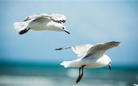 Preview wallpaper Seagulls flying in sky