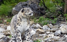 Preview wallpaper Snow leopard, stones
