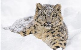 Снежный барс, толстый снег зима