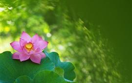 Aperçu fond d'écran Printemps, lotus, fleur rose, feuilles vertes
