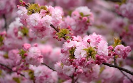 Preview wallpaper Spring, pink flowers blooms, tree, twigs