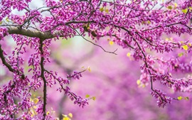 Spring, tree, branches, pink flowers