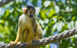 Squirrel monkey, rope, blurry background