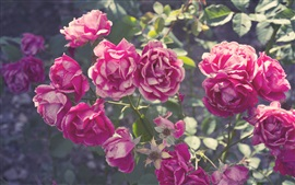Preview wallpaper Summer, pink rose flowers