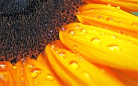 Preview wallpaper Sunflower macro photography, pistil, petals, water drops
