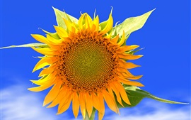 Preview wallpaper Sunflower macro photography, yellow petals, blue sky