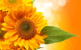 Sunflowers, yellow petals, orange background