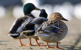 Preview wallpaper Three ducks rear view