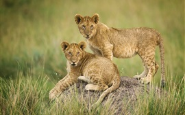 Preview wallpaper Two lion cubs, grass