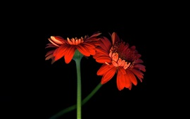 Dos flores de gerbera naranja, fondo negro