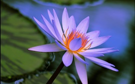 Preview wallpaper Water lily, blue petals, flower close-up