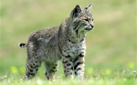 Wild cat, grass, bokeh