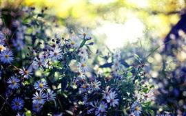 Fleurs sauvages, été, soleil, éblouissement, flou