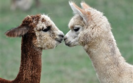 Preview wallpaper Alpacas love kiss