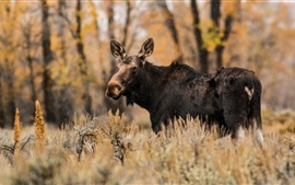 Preview wallpaper Animal moose in autumn, rain, grass