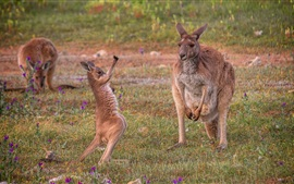 Preview wallpaper Australia, kangaroo, grass