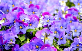 Preview wallpaper Beautiful pansy, purple flowers