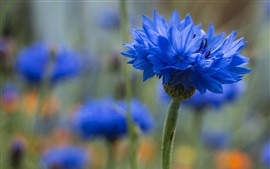 Flor azul do cornflower