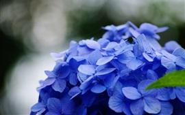 Aperçu fond d'écran Fleurs bleues d'hortensia