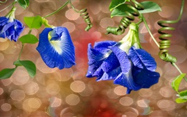 Preview wallpaper Blue morning glory, flowers macro photography, dew