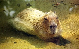 Preview wallpaper Capybara in water