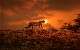Cheetah walking at sunset