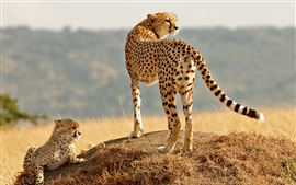 Preview wallpaper Cheetahs, cub, wild cat