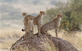 Cheetahs family, stone, grass