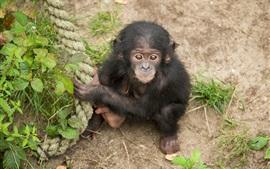 Шимпанзе, обезьяна, поймать веревку