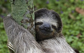 Preview wallpaper Costa Rica animals, mammal, sloth, tree