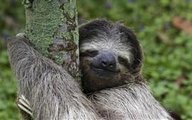 Costa Rica animais, mamífero, preguiça, árvore