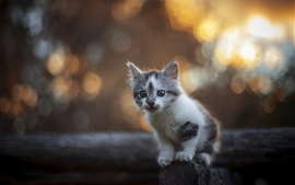 Preview wallpaper Cute furry kitten, fence, bokeh