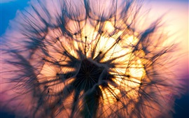 Dandelion at sunset, plants close-up