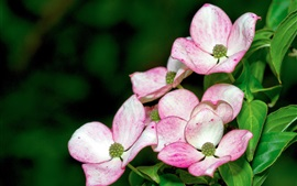Preview wallpaper Dogwood beautiful flowers