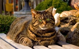 Gato gordo, olhos verdes, listras cinza